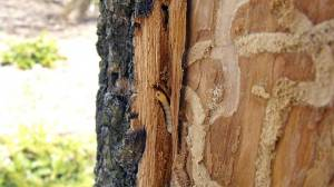 Bark Damage