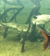 Omaha Zoo: Croc